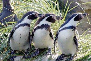 Humboldt pinguins in de zoo van Bremerhaven