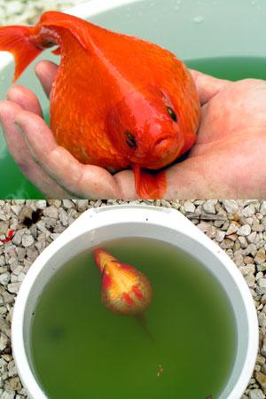 De goudvis die op ontploffen staat. Foto © Wâldnet