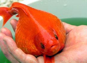 De \'explosieve\' vis uit Burgum is inmiddels overleden