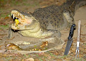 Krokodil Casey blieft geen rauw vlees