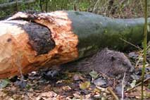 Dode bever in de Biesbosch