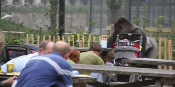 De ontsnapte gorilla