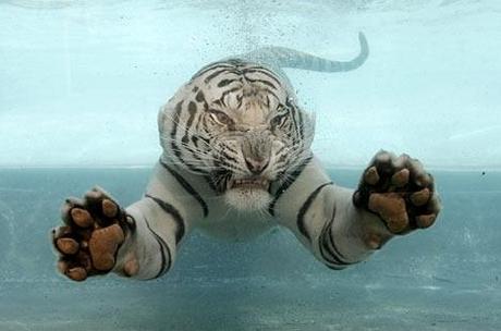 Zwemmende Bengaalse tijger 02