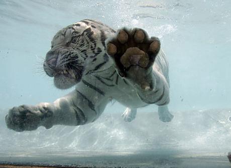 Zwemmende Bengaalse tijger 03