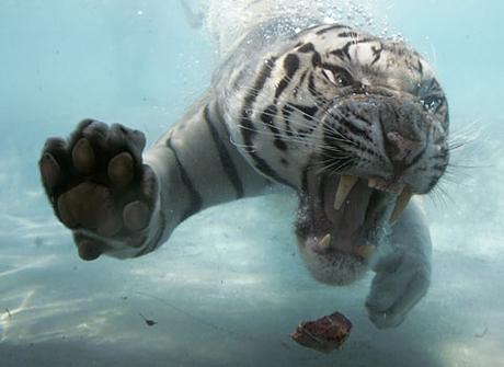 Zwemmende Bengaalse tijger 04