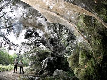 Megaspinnenweb