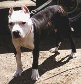 Een pitbull