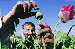 opiumteelt in Afghanistan