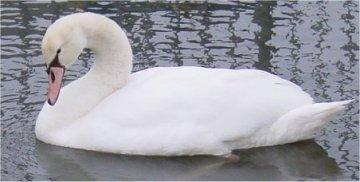 De zwaan is een beschermde diersoort